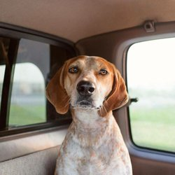 Image of Maddie the Coonhound. Courtesy of Theron Humphrey.