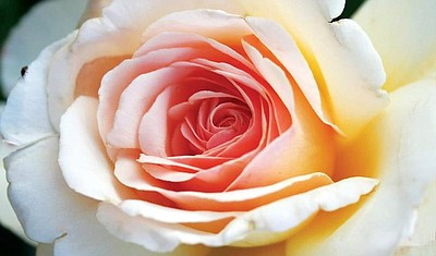 Promotional graphic of a pink rose for the Mother's Day Champagne Brunch at the Westgate Hotel. Courtesy of the Westgate Hotel.