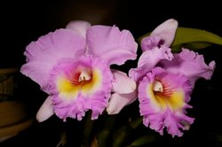 Image of Orchids. Courtesy of the Palomar Orchid Society.