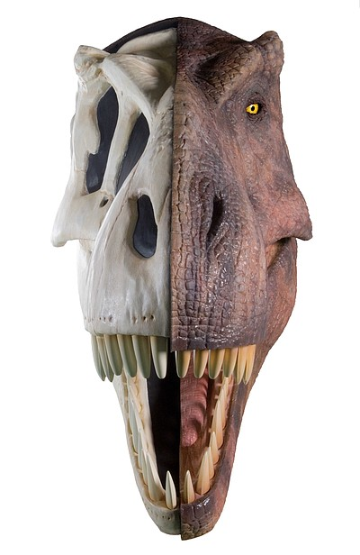 "Image of a T. rex head from the ""Dino Jaws"" exhibit at the San Diego Natural History Museum. Courtesy of the San Diego Natural History Museum"