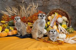 Promotional graphic for the Thanksgiving day buffet at the San Diego Zoo Safari Park.