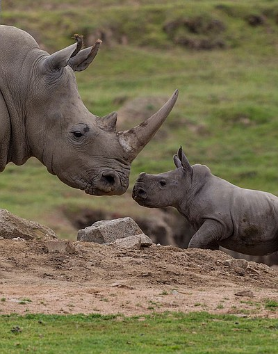 Image of a rhino from the San Diego Zoo Safari Park.