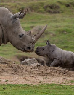Promotional image for the San Diego Zoo Safari Park Mother's Day Brunch on may 12th, 2013. Courtesy of the San Diego Zoo Safari Park.