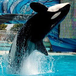 Promotional photo of Shamu the killer whale.