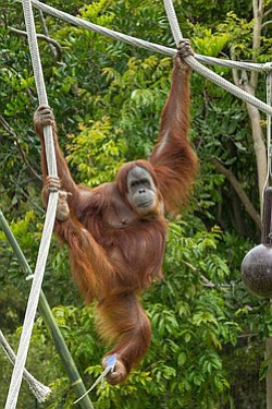 Promotional image of an orangutang playing in the trees. ...