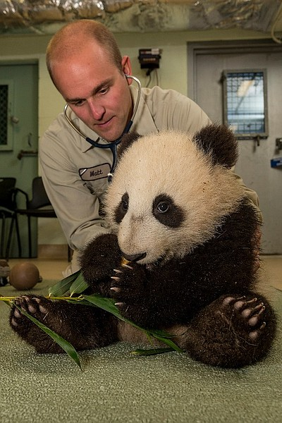 Image of a zookeeper taking care of a panda at the San Diego Zoo.