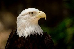Image of an eagle from the San Diego Zoo.