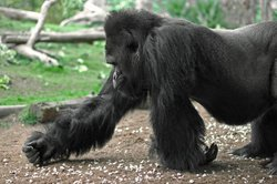 Image of a gorilla at the San Diego Zoo.