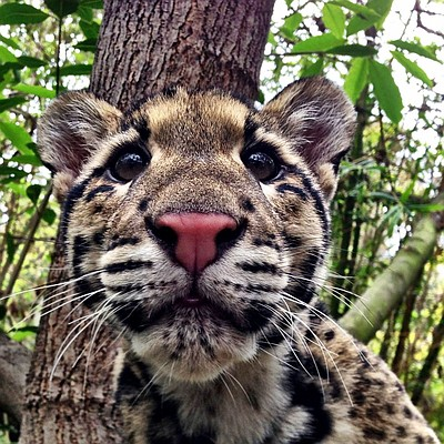 Image of a baby leopard from the San Diego Zoo.