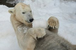 Image of a polar bear playing in snow at the San Diego Zoo.