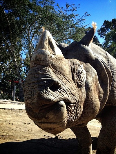 Image of a rhino at the San Diego Zoo.