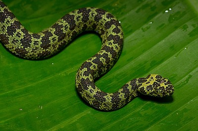 Image of a snake from the San Diego Zoo.