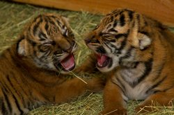 Image of Tiger Cubs at the San Diego Zoo.