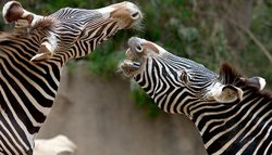 Image of Zebras at the San Diego Zoo.