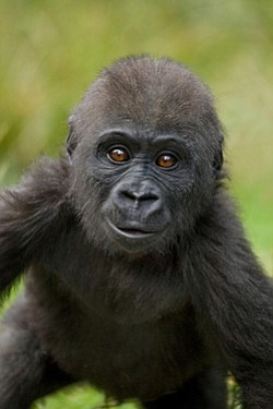Promotional image of an ape at the San Diego Zoo.