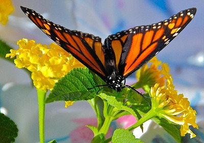 Promotional photo of a butterfly for the Sustain La Mesa Festival on Saturday, September 7, 2013. Courtesy of Nanci Cotton for the La Mesa Environmental Sustainability Commission