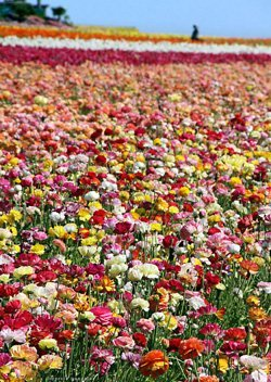 Promotional photo of acres of flowers at The Flower Field in Carlsbad, California