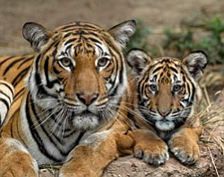 Promotional photo of the San Diego Zoo tigers.