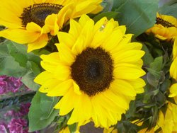 Promotional image of sunflowers at the Vista Farmers Market. Courtesy image of the Vista Farmers Market.