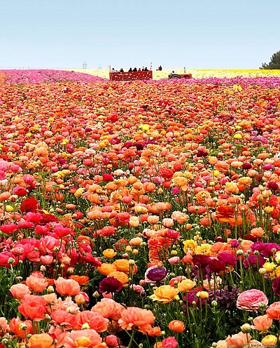 Promotional Photo Of The Flower Fields At Carlsbad Ranch®.