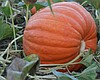 Promotional photo of the annual pumpkin patch at Bates Nut Farm. Courtesy of Bates Nut Farm.