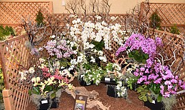 Photo of orchid variety courtesy of the San Diego County Orchid Society.