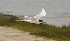 Photo of a California least tern in mid-flight.