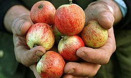 Apples at Burrow Hill Cider Farm. The Homebrewer cider workshop will take pla...