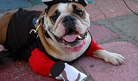 Photo of a dog in the costume contest at the Spanish Village Art Center.