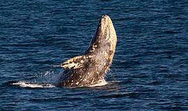 Promotional photo of a whale. Courtesy of Birch Aquarium at Scripps.