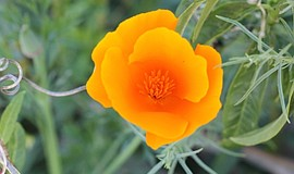 California poppy (eschscholzia californica). Courtesy of California Native Pl...