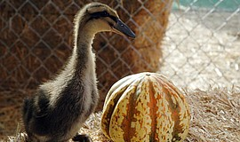 Promotional photo of a duck and pumpkin at Mission Valley Pumpkin Station.