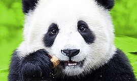 Promotional photo of a panda. Join the San Diego Zoo's Food, Wine & Brew Cele...