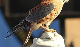 Promotional photo of a Kestrel. Courtesy of San Diego Audubon Society
