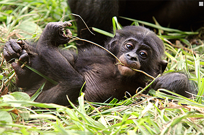 Photo of a young bonobo. Courtesy of Lola ya Bonobo and D...