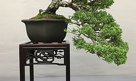 Photo of a bonsai tree.