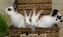 Photo courtesy of the San Diego House Rabbit Society