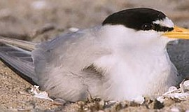 Photo of the California Least Tern. Courtesy of U.S. Fish and Wildlife Service.