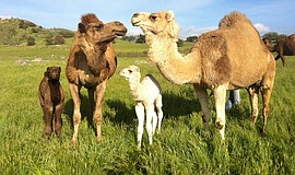 Photo of Oasis Camel Dairy camels.