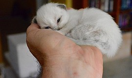 Photo of a Birman kitten. Courtesy of CFA San Diego Cat Club. The San Diego C...