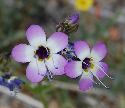Photo of a plant, courtesy of the California Native Plant Society Facebook page.