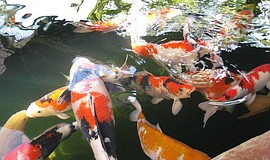 Photo of koi fish, courtesy of Koi Club of San Diego.