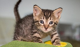 Promotional photo for Kitten Kindergarten. Courtesy of the San Diego Humane S...