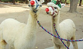 Photo of Kuzco and Kronk, who were part of last year's Frosty Farm. Courtesy ...