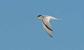 Least Tern in flight. Photo credit: Karen Straus. Courtesy of San Diego Audub...