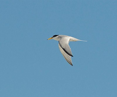 Least Tern in flight. Photo credit: Karen Straus. Courtesy of San Diego Audubon Society.