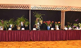 Photo of orchids on display as part of the Orchid Fiesta! Show And Sale.