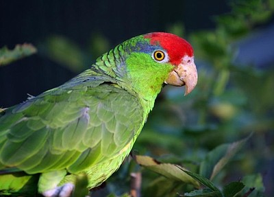 Photo of a parrot, courtesy of the Living Coast Discovery Center.