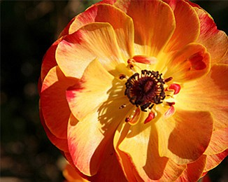 Promotional close-up photo of a Ranunculus flower. Courtesy of The Flower Fields at Carlsbad Ranch