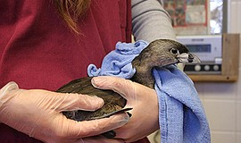 Promotional photo of pied-billed grebe. Courtesy of Project Wildlife.